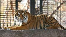 Kansas: Víctima de ataque de tigre deja cuidados intensivos
