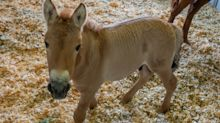 First Clone of Endangered Przewalski's Horse Born in Conservation Effort to Save the Species