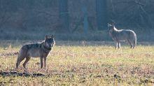 Mehr Wolfsangriffe auf Nutztiere - Bauern fordern Jagd