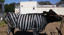 Disfrazar a las vacas de cebras funciona de maravilla contra los insectos