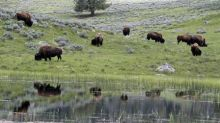 Yellowstone plans to thin bison herd by 900 animals