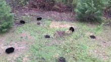 Tennessee Woman Finds Five Bears in Her Backyard
