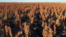 Exclusive: U.S. sorghum armada U-turns at sea after China tariffs