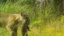 Mama Florida panther and kittens seen on national refuge camera. That was a rare sight