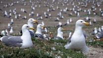 Bay Area battles seagull invasion