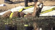 Beloved pet alpaca freed after getting stuck in the mud