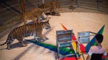 """""""Fin progressive"""" des animaux sauvages dans les cirques itinérants"""