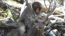 Macaques Have Been Monkeying Around With Deer In Japan, Researchers Discover