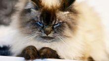 Conheça Merlin, o gato mais mal-humorado do mundo