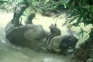 僅存72隻 直擊瀕絕爪哇犀牛水中打滾