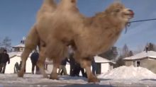 Siberian shamans slaughter five camels in bizarre sacrificial ritual to 'strengthen the Russian state'