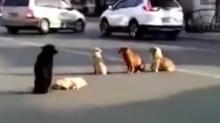 Lealtad animal… Atropellan a un perro y sus amigos lo 'resguardan' en plena calle
