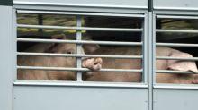 Großrazzia wegen illegaler Leiharbeit in Fleischbranche