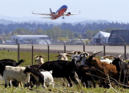 A plane takes off as a herd of goats grazes at the Portland International Airport in Portland, Oregon April 17, 2015. REUTERS/Steve Dipaola