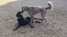 Labrador flaunts ball in his mouth, goads buddy into taking it