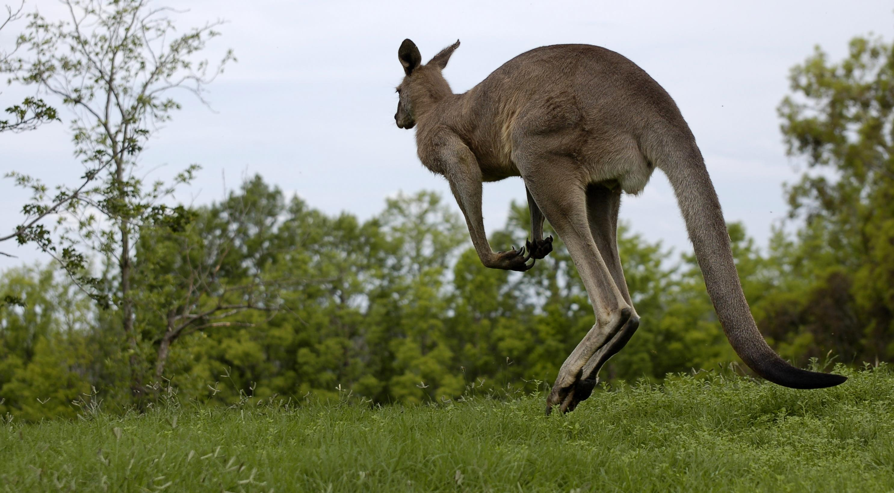 Woman viciously attacked by kangaroo on the Gold Coast