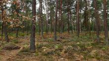Arbres secs, herbe roussie, fougères prêtes à brûler... A la merci de la moindre étincelle, la forêt de Fontainebleau a déjà son aspect d'automne