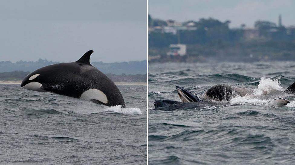 'Once in a lifetime sight': Tourists watch orcas devour humpback off NSW coast
