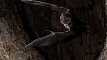 Wild vampire bats socially distance when sick, study suggests