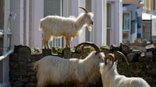 US town hopes herd of goats will protect against wildfires