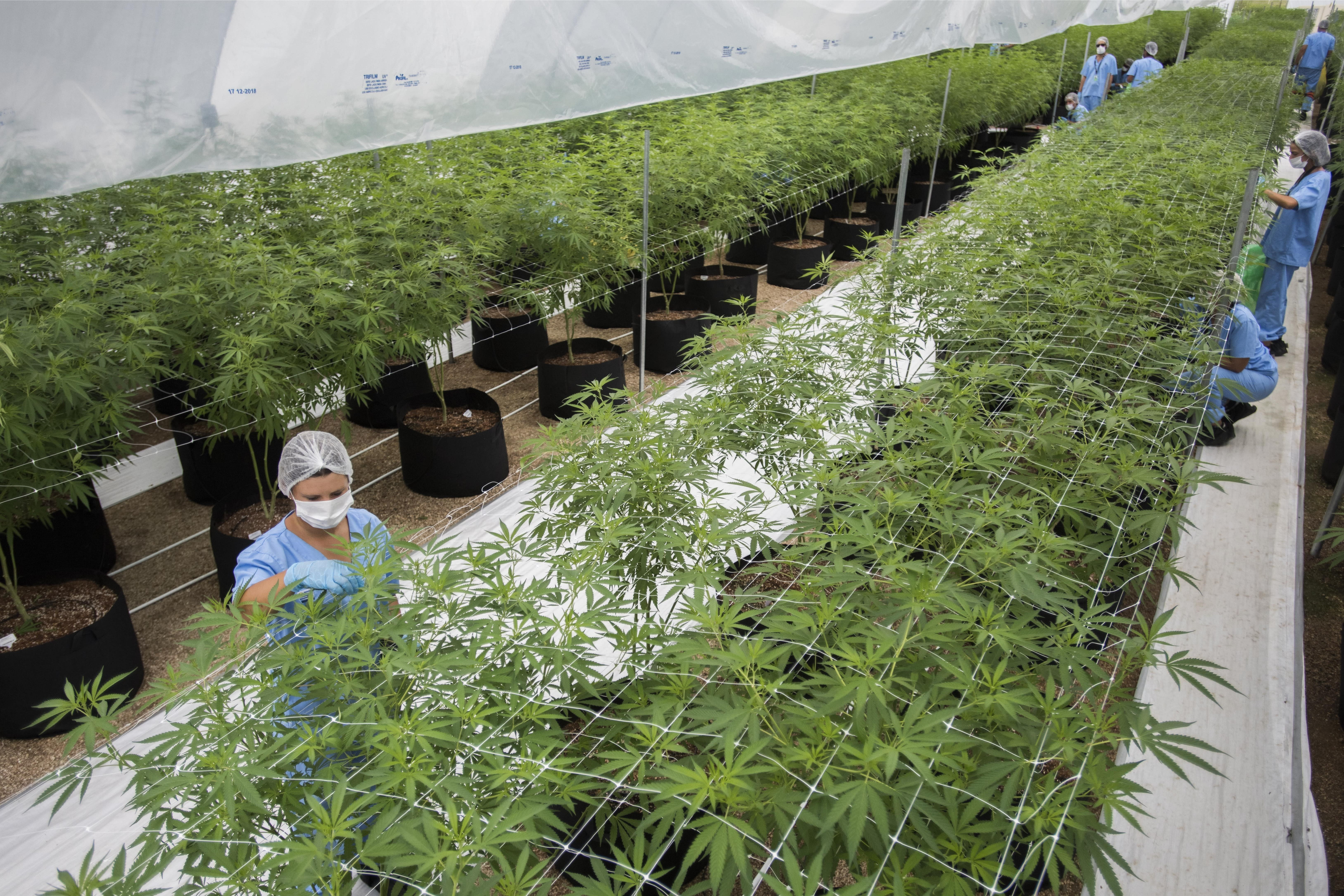 CORRECTS SHIPMENT TO 10 KILOS - In this Jan. 30, 2019 photo, workers trim marijuana plants at Fotmer, in Nueva Helvecia, Uruguay. Uruguayan based company Fotmer confirms the recent shipment of approximately 10 kilos of medicinal marijuana to Australia. This export of the product by the US-Uruguayan joint venture company is part of a medicinal marijuana industry that many hope will become a moneymaker for the South American country. (AP Photo/Matilde Campodonico)