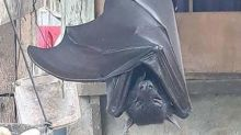 Photo of human-sized bat in the Philippines baffles social media users