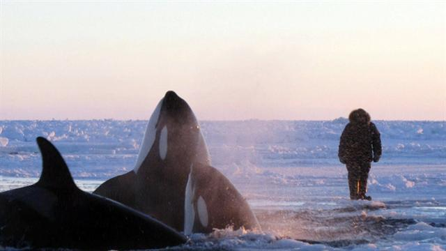 Killer whales' race for survival