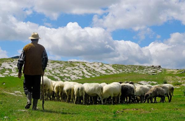 Prototype heart monitor collar could let sheep text their shepherd, tattle on creeping wolves
