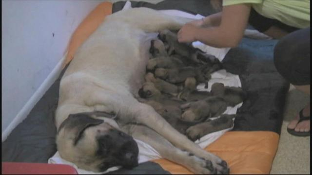 Texas dog gives birth to record-setting 17-puppy litter