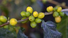 La planta que puede salvar al café de la extinción