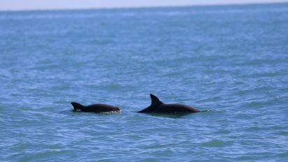 Aparecen vaquitas marinas bebé; alivio contra extinción