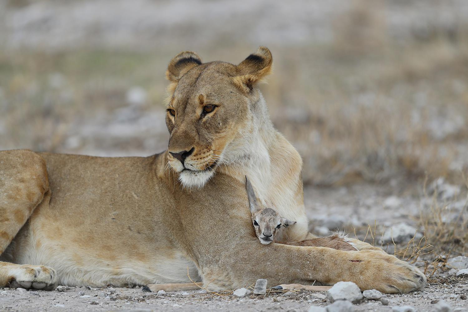 <p>A lioness holds a young springbok after capturing it near the Namutoni camp in Etosha National Park. (Photo: Gordon Donovan/Yahoo News) </p>