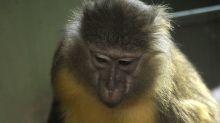 Un raro mono de panza dorada nace en zoológico de Budapest