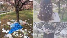 【注意】日本賞櫻後遺症 大量垃圾/ 採摘櫻花做頭飾