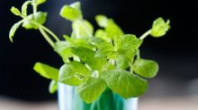 Top tips for growing mint and when cosmos won't flower, by Helen Yemm