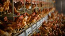 Só 25 centavos a mais no preço de lanche pode reduzir sofrimento de animais, diz ONG