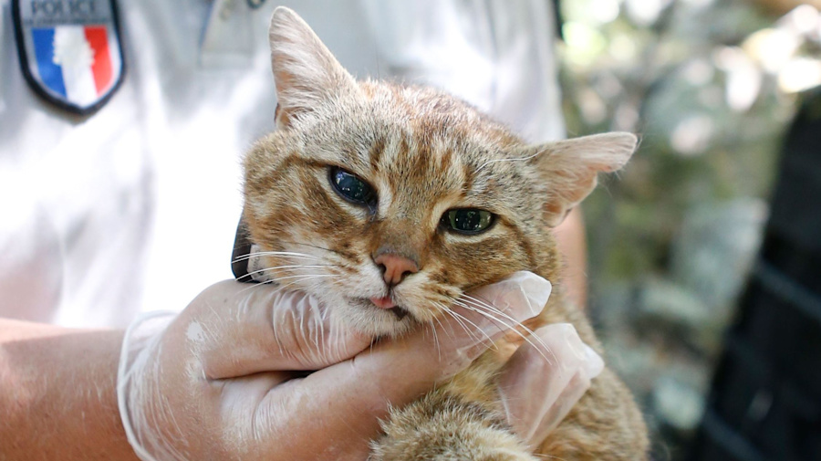 Mysterious 'cat-fox' could be a new species