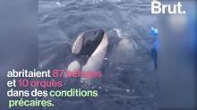Des centaines de bélugas libérés dans les eaux russes