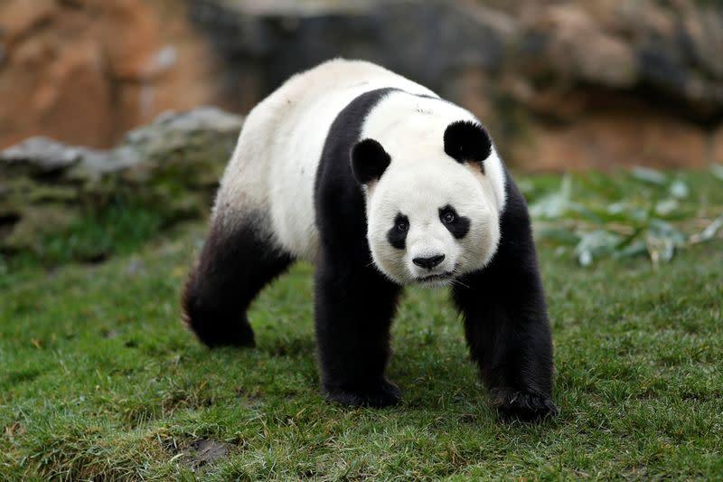 France: Naissance de deux pandas géants au zoo de Beauval