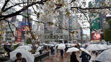 Invasive beetle threatens Japan's famed cherry blossoms