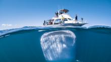 Da wird wohl ein größeres Boot benötigt! Ein riesiger Walhai schwimmt unter dem Boot nichtsahnender Touristen