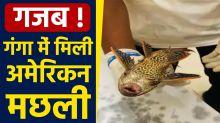 Varanasi: Succer Catfish from US amazon river found in ganga river