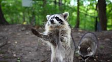 14 Raccoons Confront Dad And Son In Encounter That 'Feels Like End Of Days'