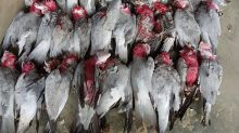 'It's very strange': Mystery after hundreds of galahs found dead
