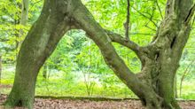 The romantic reason this tree was crafted into the shape of a letter