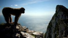 Gibraltar moves to protect its monkeys against coronavirus