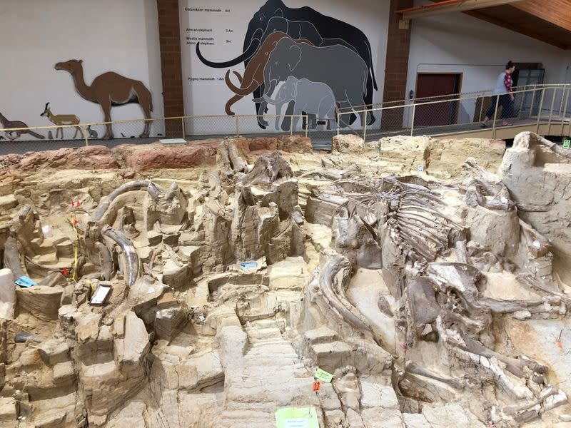 Fossilized bones of mammoths are displayed at the Mammoth Site in Hot Springs