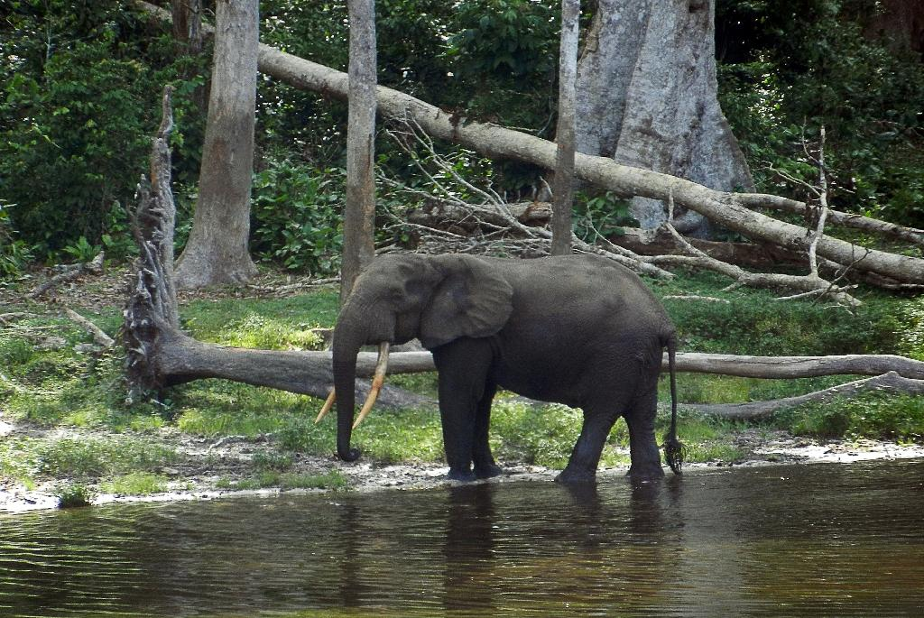 The population of Central Africa's forest elephants has been decimated by illegal hunting, with an estimated 65 percent decline between 2002 and 2013, researchers say (AFP Photo/Laudes Martial Mbon)