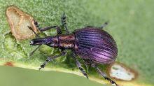 Extrem seltener Käfer weiter verbreitet als gedacht
