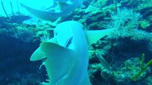 Beautiful sharks follow and bump scuba divers for a thrilling dive
